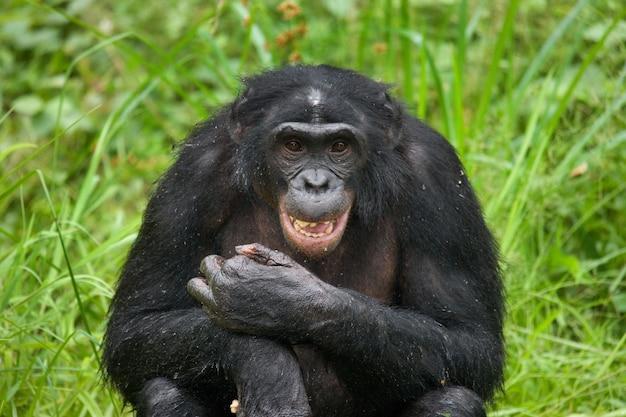 Bonobo zit op de grond. democratische republiek van congo. nationaal park lola ya bonobo.