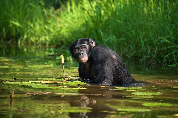 Bonobo zit tot zijn middel in het water en probeert voedsel te krijgen. democratische republiek van congo. nationaal park lola ya bonobo.