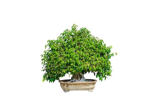 Bonsai boom geïsoleerd