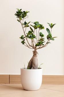 Bonsai ginseng of ficus retusa