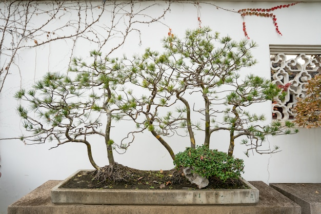 Bonsai in suzhou-tuin, china