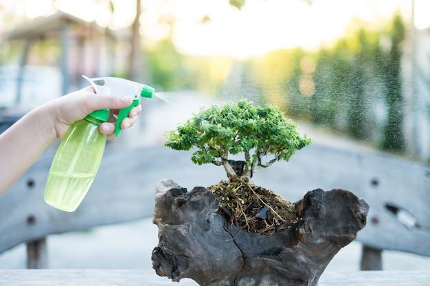Bonsai verzorgt en verzorgt de groei van kamerplant. kleine boom water geven.