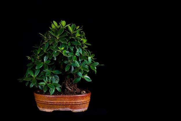 Bonsaiboom op een lijst zwarte achtergrond