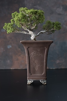 Bonsaiboom, typisch voor de japanse cultuur