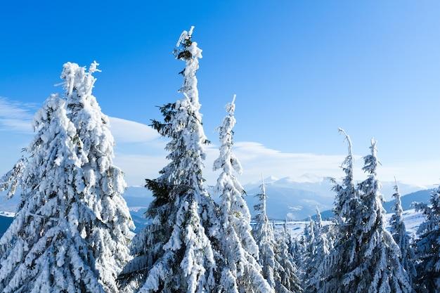 Bont bomen kronen bedekt met sneeuw in winter woud op winterdag met blauwe lucht in boven. landschap van winter wonderland natuur concept