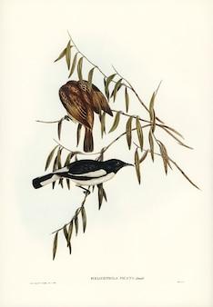 Bonte honingeter (melicophila-picata) geïllustreerd door elizabeth gould