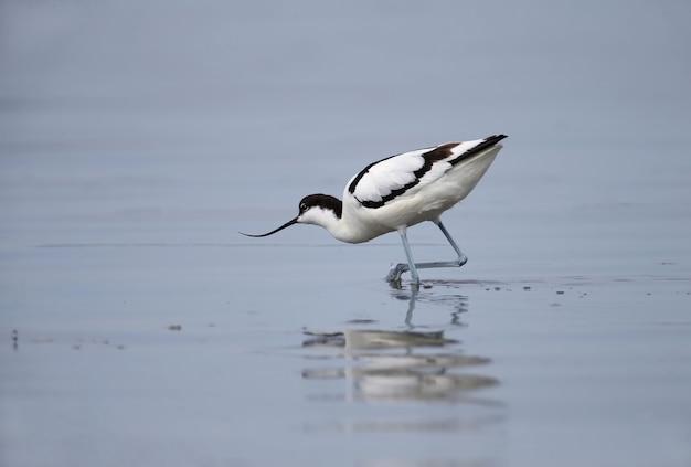 Bonte kluut (recurvirostra avosetta) gefotografeerd in een natuurlijke habitat in het water en aan de oevers van het estuarium