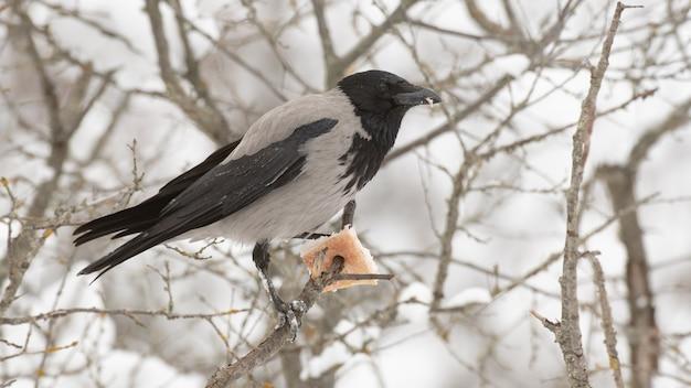 Bonte kraai corvus cornix in het de winterbos.