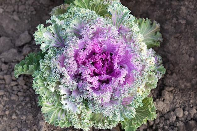 Bonte sierkool van roze en groene bloemen die in de grond groeien - bovenaanzicht, close-up. decoratieve kool