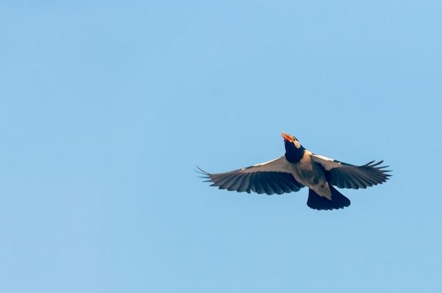 Bonte starling die in de blauwe hemel vliegt