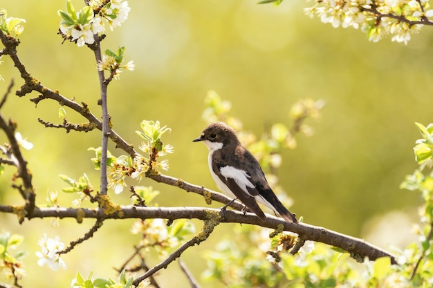 Bonte vliegenvanger ficedula hypoleuca, een kleine zangvogel.