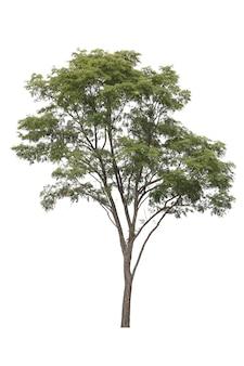 Boom die op witte achtergrond wordt geïsoleerd. birma padauk boom op witte achtergrond.