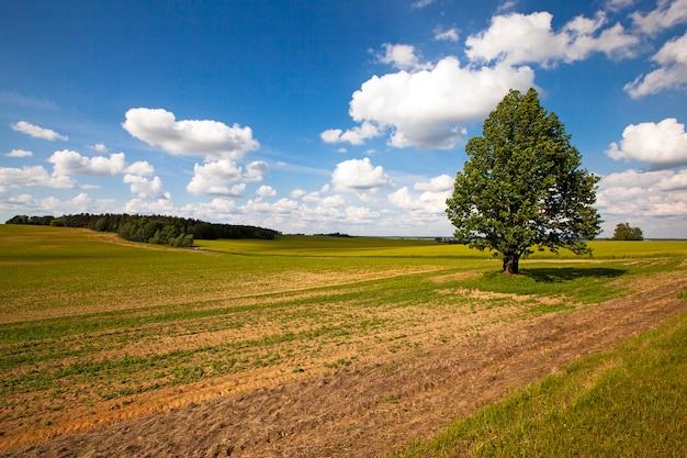 Boom groeit in een veld in de zomer