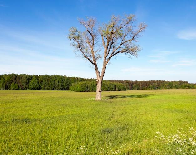 Boom in een veld met maïs. blauwe lucht en groene bosbomen. lente landschap