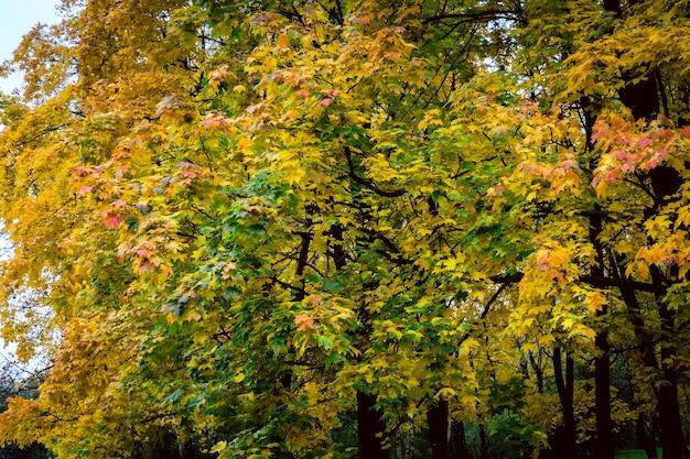 Boom in het stadspark met kleurrijke bladeren, herfstseizoen.