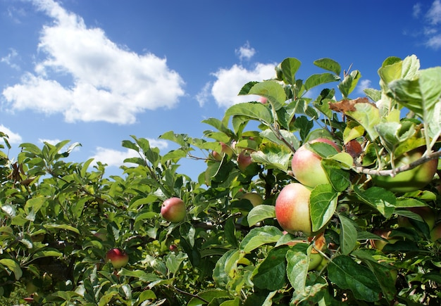 Boom met appels en blauwe lucht met witte wolken
