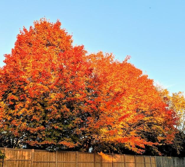 Boom met fel oranje bladeren overdag in de herfst