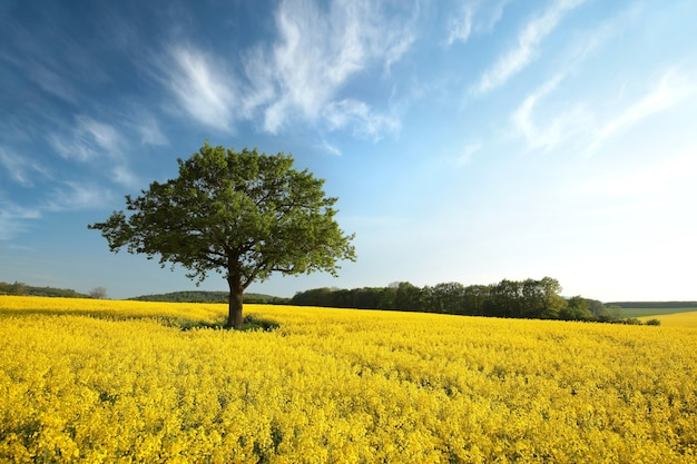 Boom op een bloeiende koolzaad veld in de schemering
