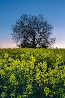 Boom silhouet in geel koolzaad veld. zonsondergang natuur landschap. bloeiende raps