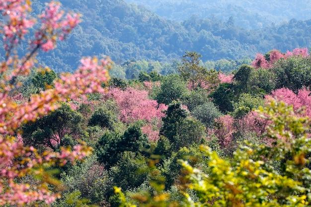 Boom van wilde himalayan-kersenbloesem of thaise sakurabloemboom die in thailand bloeien