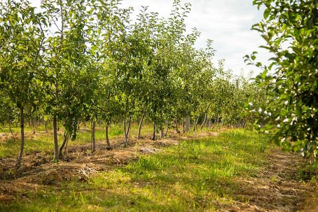 Boomgaard met jonge appelbomen.