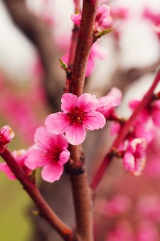 Boomgaard met perzikbomen bloeide in de lente