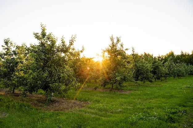Boomgaard of tuin van appelbomen in de zomer met blauwe lucht en witte wolken