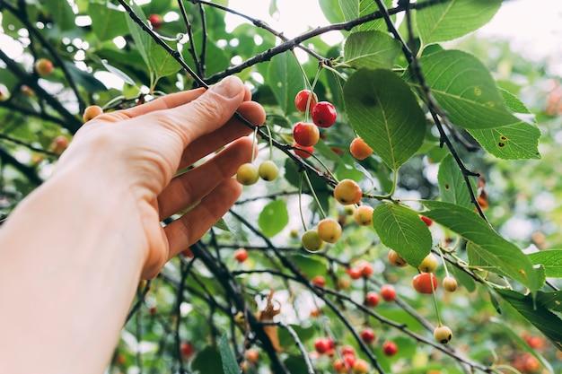 Boomgaardconcept met het plukken van bessen