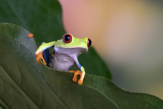 Boomkikker met rode ogen die aan anthuriumblad hangt