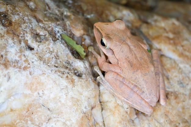 Boomkikker verbergt de bovenkant van de steen door de huid aan te passen