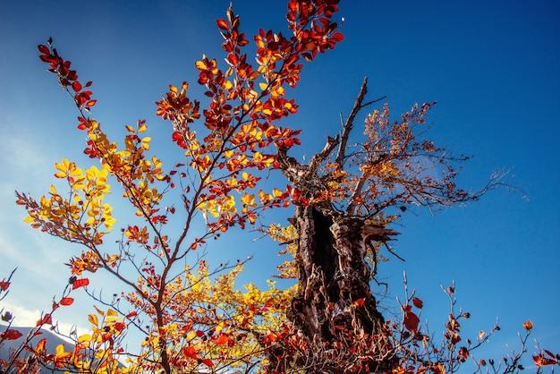 Boomluifel in de herfst beukenbos tegen de blauwe hemel.