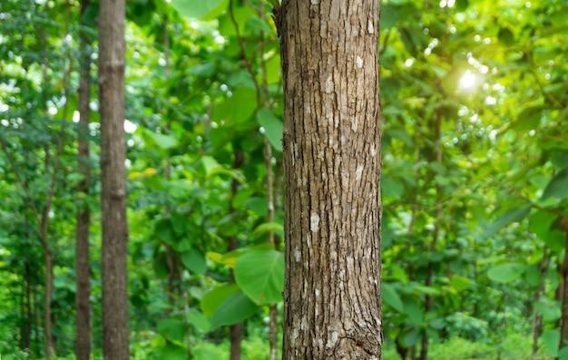 Boomstam van teakboom