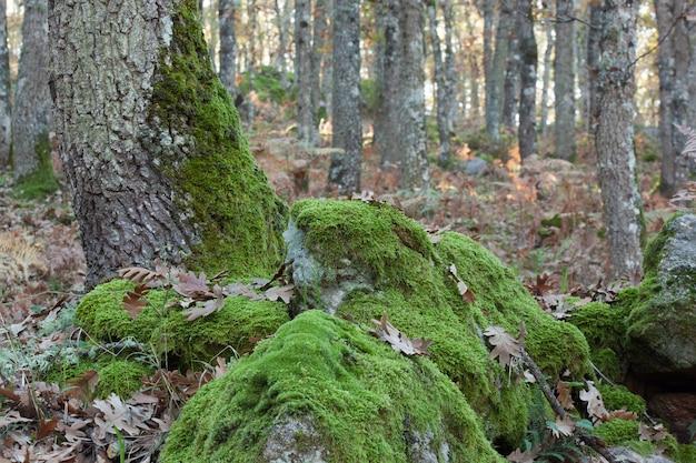 Boomstamhoogtepunt van mos in een bos