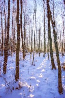 Boomstammen in een winterbos met zacht licht. kale hoge bomen in het zonlicht. sneeuw op de grond. verticaal kader.