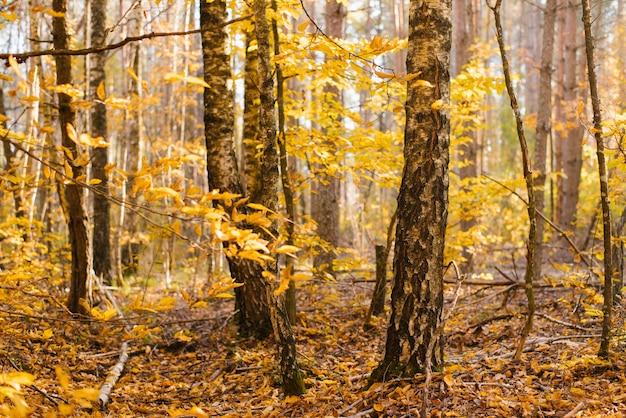 Boomstammen van berkentakken in het de herfst gele bos