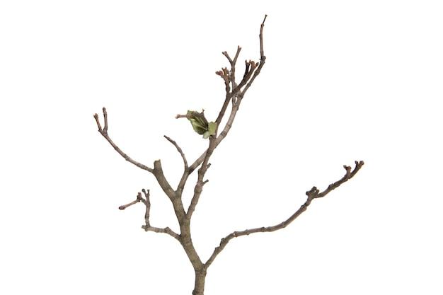 Boomtak zonder bladeren geïsoleerd op witte achtergrond