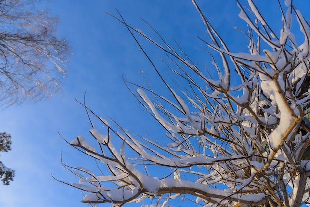 Boomtakken bedekt met sneeuw in het zonlicht tegen blauwe hemel
