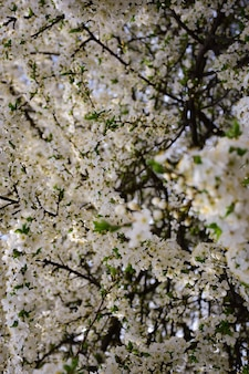 Boomtakken bloeien met witte bloemen over het hele frame de voorste tak is in focus