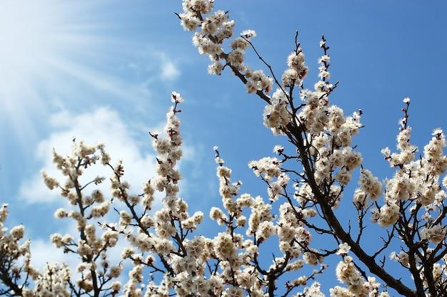 Boomtakken met lentebloesems op een heldere blauwe hemelachtergrond met zonnestralen.