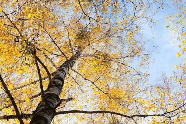Boomtoppen en vergeeld herfstberkengebladerte tijdens de seizoenen