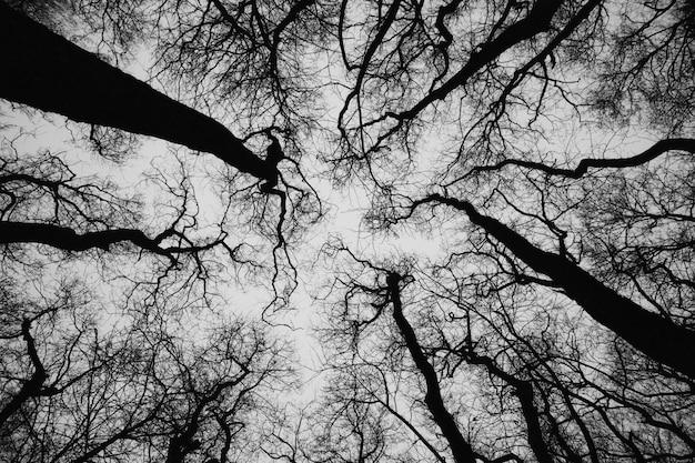 Boomtoppen van gewone els, foto in zwart en wit
