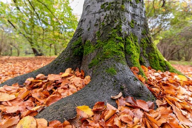 Boomwortel onder herfstbladeren, natuur achtergrond