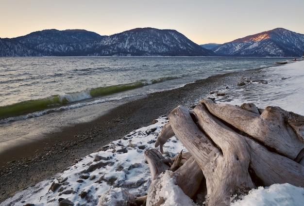 Boomwortels op de besneeuwde oever van het teletskoje-meer, dat in de winter niet bevriest