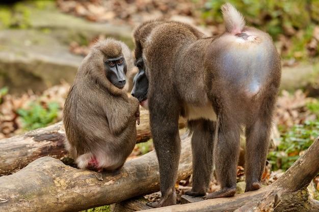 Boor aap mandrillus leucophaeus rust in het natuurgebied habitat Gratis Foto