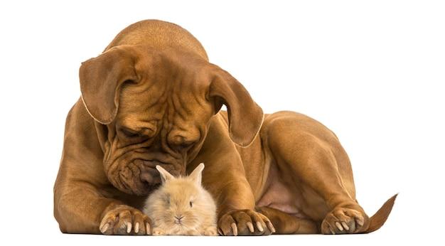 Bordeauxdog ruiken een rex konijn geïsoleerd op wit