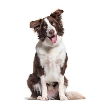 Border collie hond, 1 jaar oud, zittend tegen wit