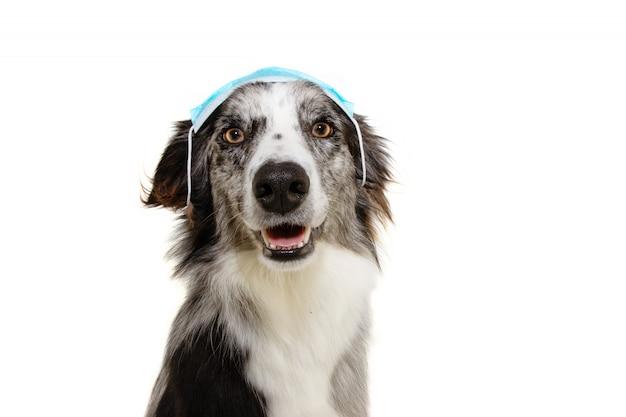 Border collie-hond die op de verkeerde manier een gezichtsmasker draagt ter bescherming tegen infectie of luchtvervuiling