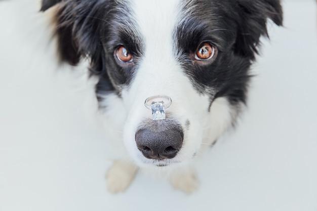Border collie-hond die trouwring op neus houden die op witte achtergrond wordt geïsoleerd