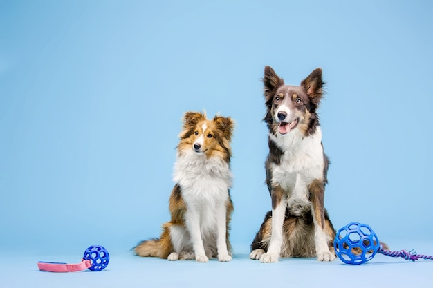 Border collie-hond en shetland sheepdog-hond in de fotostudio op de blauwe achtergrond