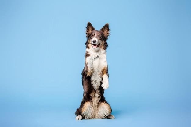 Border collie-hond in de fotostudio op de blauwe achtergrond
